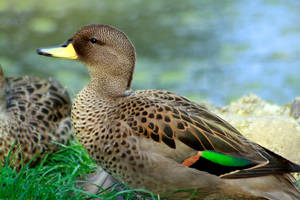 Berlin zoo Speckled Teal by oskila