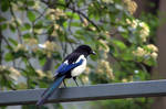 Magpie, really not so pied.