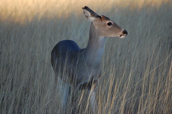 Blue Jay the doe Deer_by_erikjmeyers