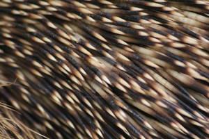 Hedgehog stings