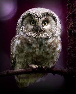 La galerie de l'Évoli sans cervelle... - Page 4 The_owl_by_eevee33-d3iajtq