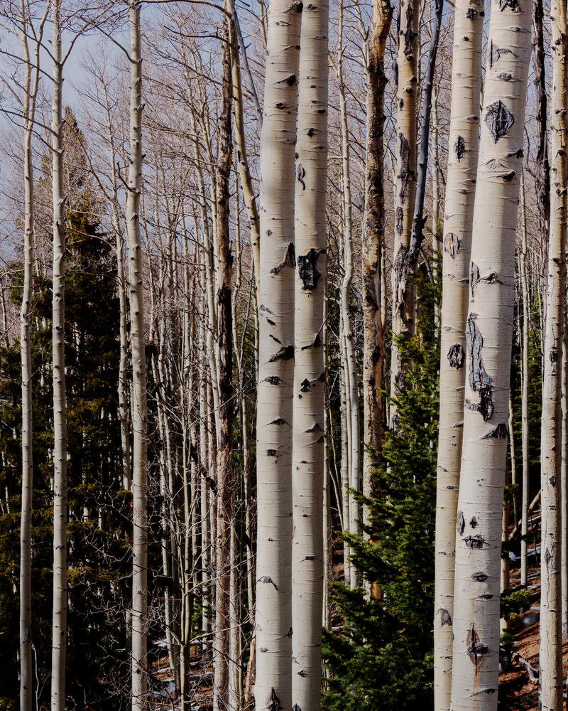 Aspens with Fir by SlowSkier505