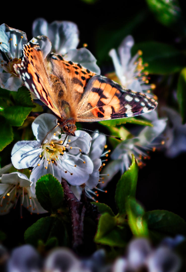 A Painted Lady on a Cherry Blossom by SlowSkier505