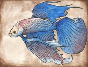 blue-white betta