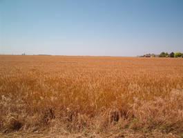 Wheat fields more