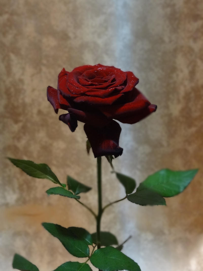 Single Rose By Kamaland