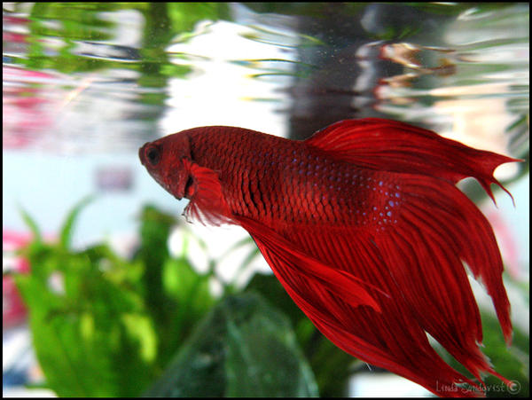 My Betta by tufft