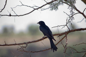 Blackbird by furstripe