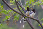 A tail of two Magpies by furstripe