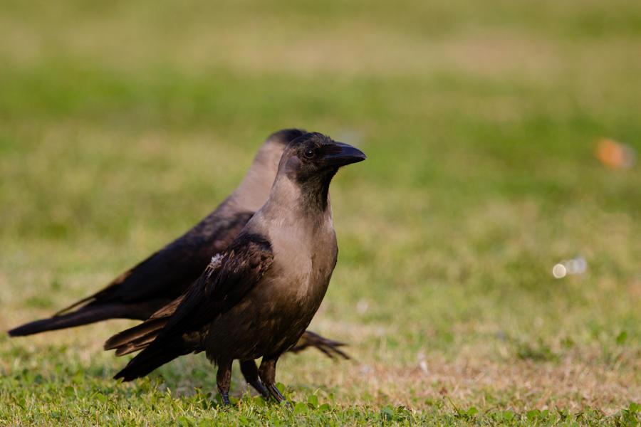 Crow Eclipse by furstripe