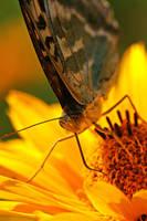 Nectar licker by Gothicpagan