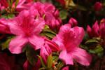 rainy day azaleas by Nimbue