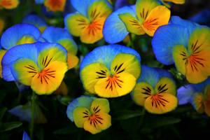 pansies by Nimbue