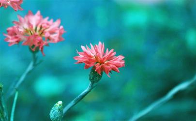 sakura by Nimbue