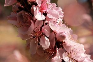 cherry blossom by Nimbue