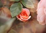 la vie en rose by Nimbue
