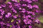 tiny purple fleurs