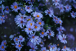 asters in twilight