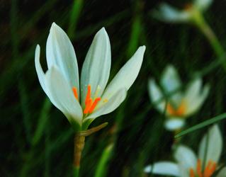 rain lily by Nimbue
