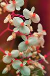 begonias by Nimbue
