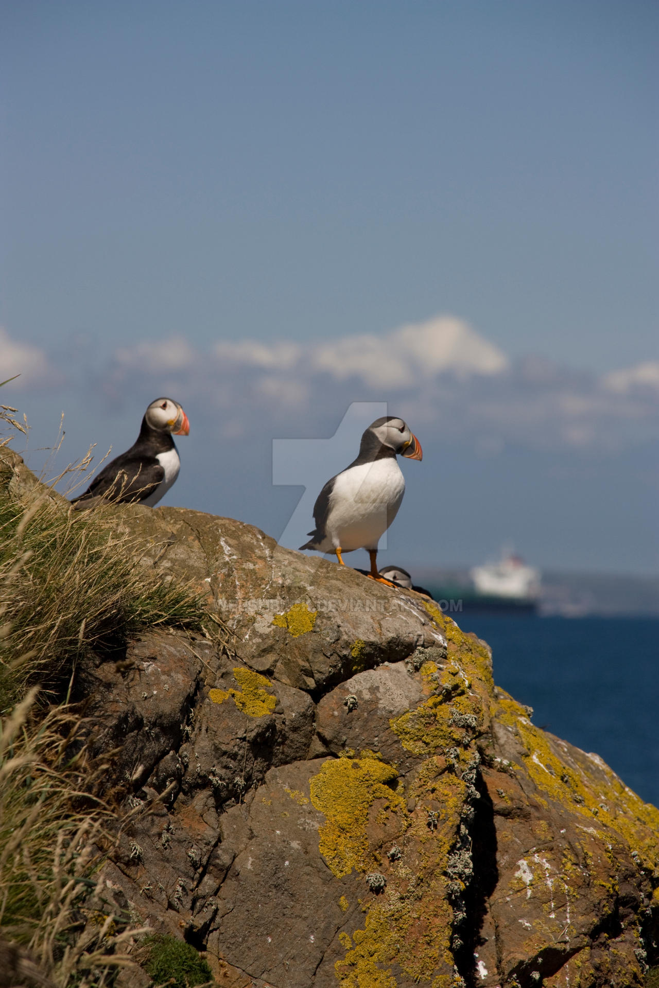 Puffins by welshbeck