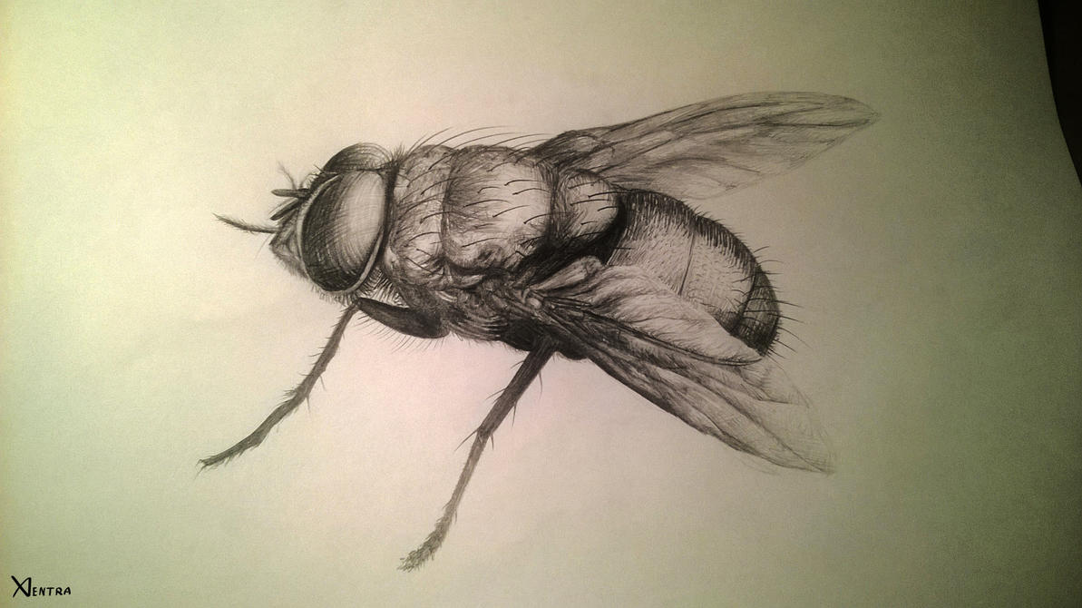 Fly sketch by Xentraaa