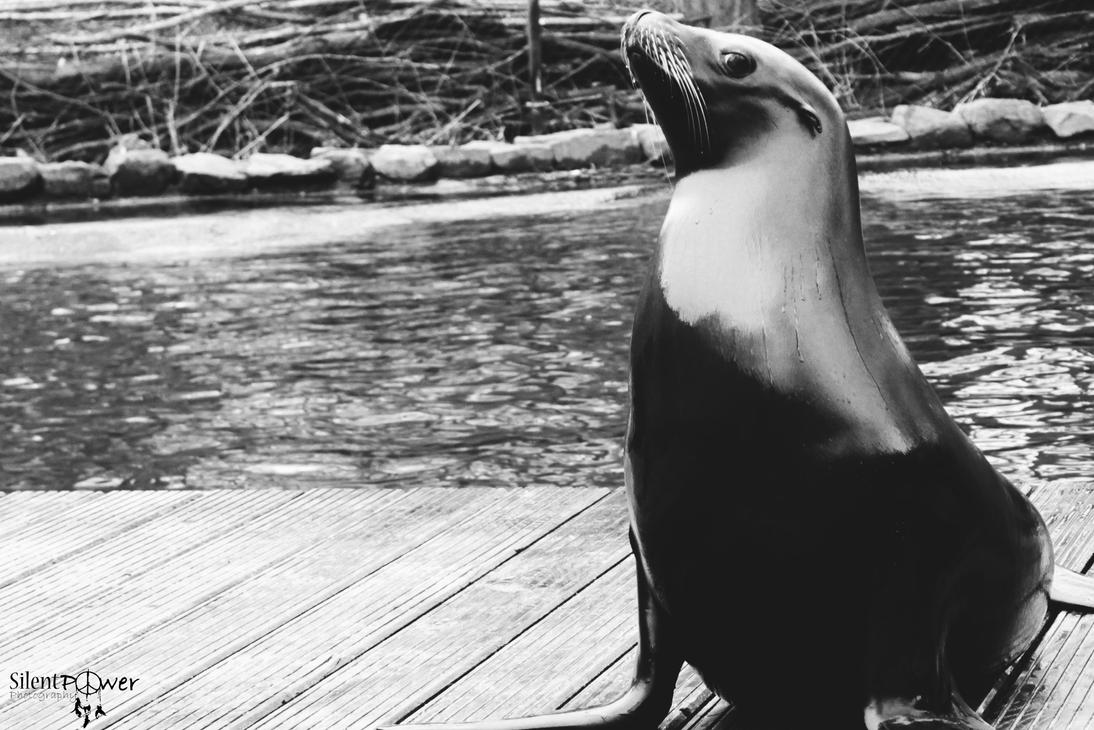 Sea lion by CiindyCore