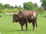 Stock - Ox with big horns