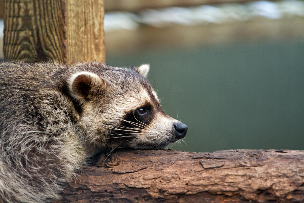 Raccoon by BloodStainedKid