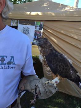 PICTO-Broad-Winged Hawk