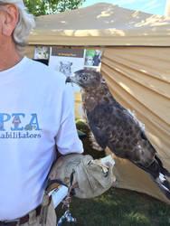 PICTO-Broad-Winged Hawk 2