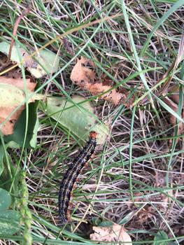 PICTO-Common Buckeye Caterpillar 2