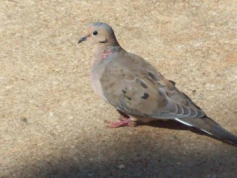 Pigeon 10