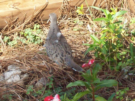 Pigeon 13