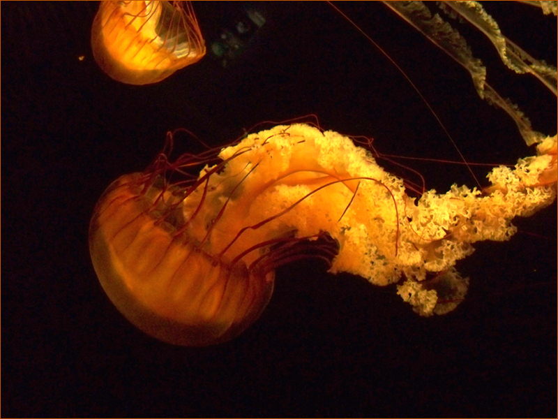Jellyfish by AkaneCeles