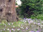 tree and crocus flowers