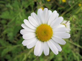 Daisy2 by Its-Only-Stock