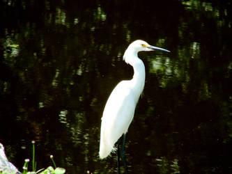 Egret by skoox