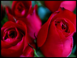 Red Roses by coldshadows