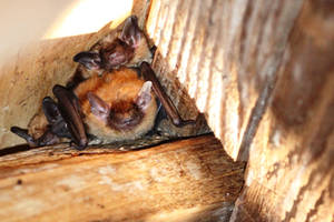 Eptesicus fuscus - Big Brown bats 05 by topshelf81