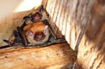 Eptesicus fuscus - Big Brown bats 05