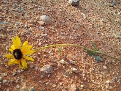 Sunflower by cookie--raider