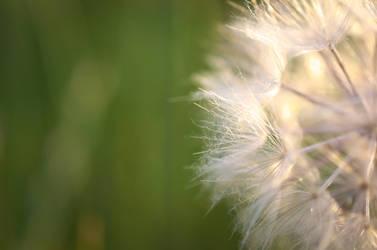 Dandelion macro by daemonkarl