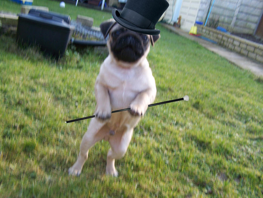 pug dancing pug dance by deisaysun on deviantart 6864