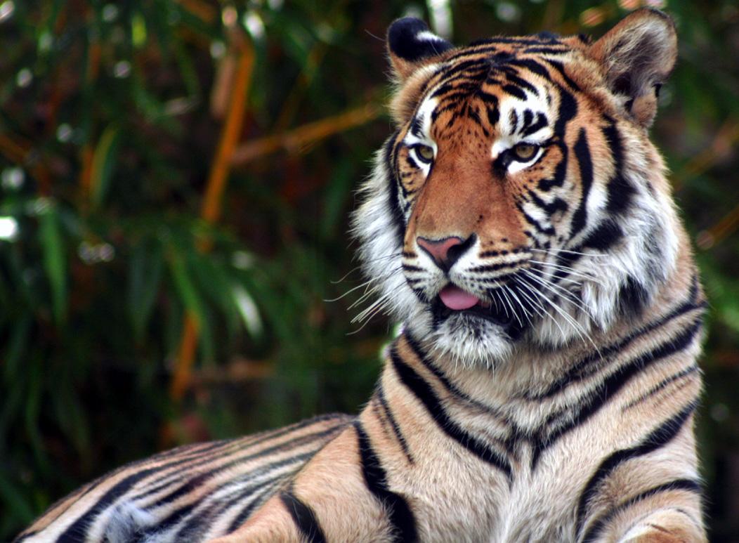 Tiger by Sharmos