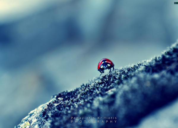 Ladybug by pkritiotis