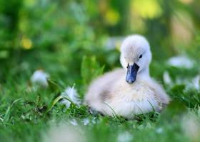 Baby Swan Signet by madmegz