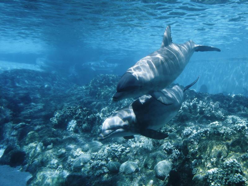 dolphins by Borriszan