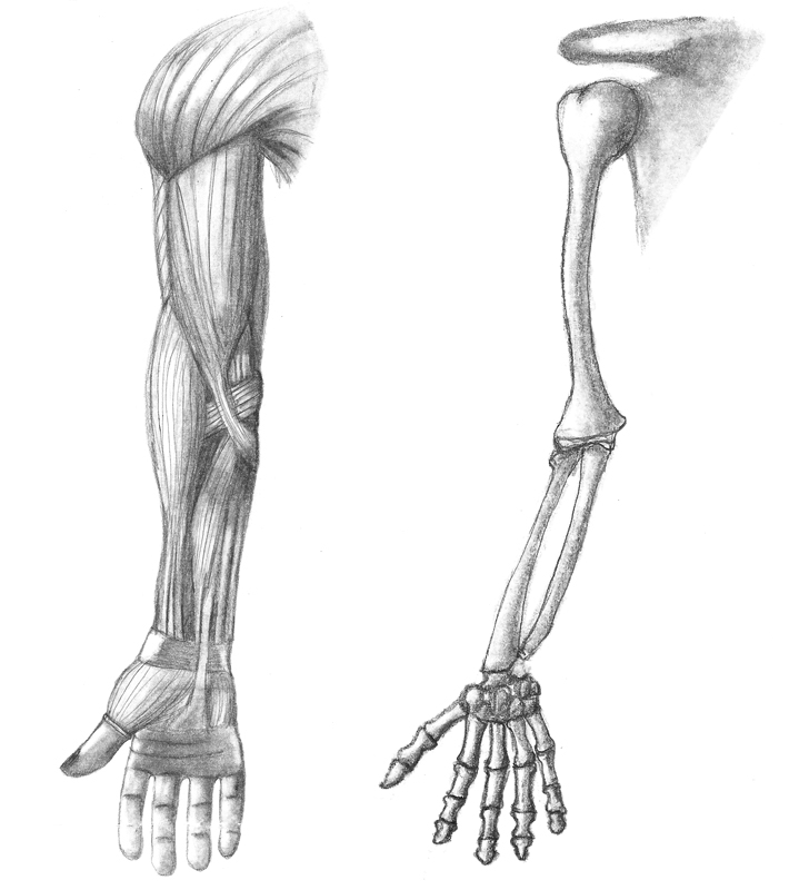 Arm Muscle And Skeletal By Faymara On Deviantart