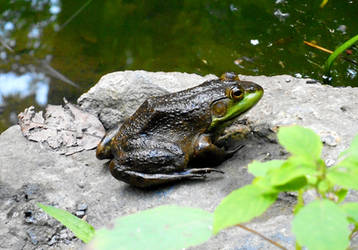 Green Frog IV by StoltPunk77